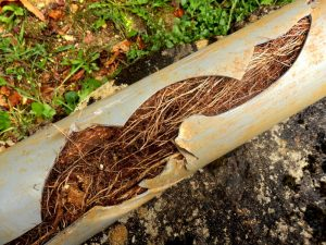 Roots Growing in a Pipe, Damaged Pipe